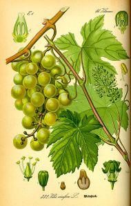 381px-Illustration_Vitis_vinifera0